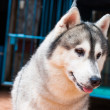 Siberian Husky — Stock Photo #35978635