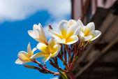 Frangipani flowers on a tree — Stock Photo