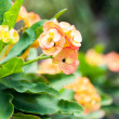 Crown of Thorns flower — Stock Photo