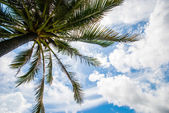 Coconut palm on the blue sky — Stock Photo