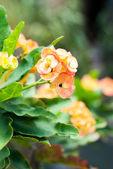 Couronne de fleur d'épines — Photo