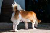 Dog Sniffing on the Ground — Stockfoto