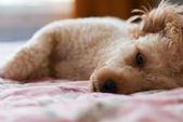 Dog was lying — Stockfoto