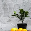 Oranges and Plants in back plastic pots — Stock Photo #42536469