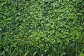Green bush wall background — Stock Photo