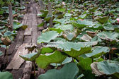 Old wooden foot bridge over the pond of lotus — Stockfoto