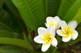 Plumeria (Frangipani) — Stock Photo