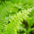 Stock Photo: Shrubs fern. Background.