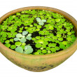 Water lettuce with Lotus leaf on water . — Stock Photo #31726949