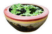 Water lettuce with Lotus leaf on water . — 图库照片