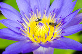 Lotus flower with bee and Lotus flower plants — Stock Photo