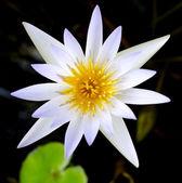 Lotus flower and Lotus flower plants — Stock Photo