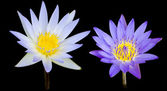 Lotus flower isolate with black background — Stock Photo