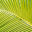 Coconut Green leaf backgroun — Stock Photo