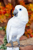 Blue eye White Macaw parrot — Stock Photo