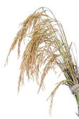 Paddy rice on white background — Stock Photo