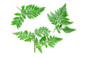 Green leaf isolated on a white background — Stock Photo