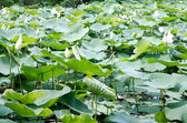 White lotus blossoms on the protected forest lake — Stock Photo