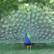 Blue Peacock Flutters Open Feathers — Stock Video