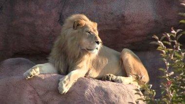 Mężczyzna lew siedzi na skale — Wideo stockowe