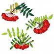 Set of rowan berries with leaves isolated on the white background — Stock Vector