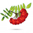 Bunch of red rowan berries with leaves isolated on white — Stock Vector
