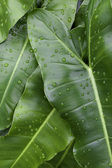 Luscious Green Leaves — Stock Photo