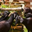 Goats feeding on green grass. — Stock Photo