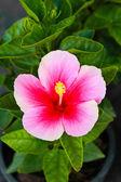 цветок розовый гибискус, таиланд. — Стоковое фото