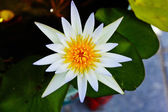 White Lotus Blooming — Stock Photo