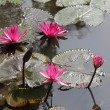 Pink lotus flowers growing upright. — Stock Photo