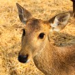 Stock Photo: Portrait of young deer.