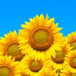 Beautiful sunflowers isolated naturally on blue sky. — Stock Photo