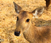 Portrait of a young deer. — Stock Photo