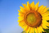 Schöne sonnenblumen isoliert natürlich auf blauer himmel. — Stockfoto
