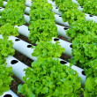 Field of fresh and tasty salad lettuce plantation. — Stock Photo