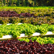 Field of fresh and tasty salad lettuce plantation. — Stock Photo #27291273