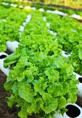 Field of fresh and tasty salad lettuce plantation. — Stock Photo