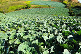 Big Cabbage farm on the mountain. — Stock Photo