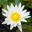 White lotus flower. — Stock Photo