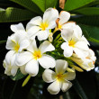 Stock Photo: White and yellow frangipani flowers with leaves in background.