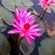 Pink lotus in lake — Stockfoto