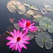Pink lotus in lake — Stock Photo