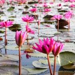 Stock Photo: Lake of water lily, Udonthani, Thailand