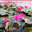 The Lake of water lily, Udonthani, Thailand — Stock Photo #27417137