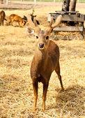 Una imagen de un ciervo joven adorable. — Foto de Stock