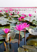 The Lake of water lily, Udonthani, Thailand — Stock Photo
