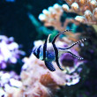 Stock Photo: Banggai Cardinalfish in aquarium (Pterapogon kauderni)
