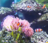 Coral Reef and Tropical Fish in an aquarium. — Stock Photo