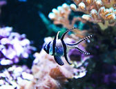 Banggai Cardinalfish in a aquarium (Pterapogon kauderni) — Stockfoto